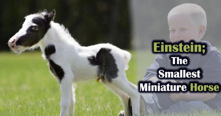 Einstein Horse, The Miniature Horse