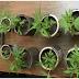 En Mao Valverde DICAN encuentra 34 matas de marihuana en solar baldío