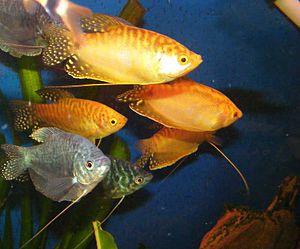 43 Jenis Ikan Gourami Mini Hias Populer Alam Ikan