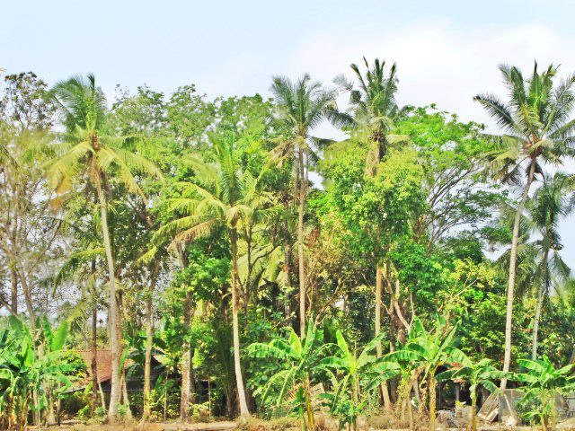 Kebun Pohon Kelapa