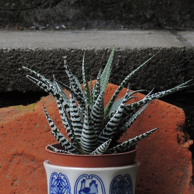 In mijn huiskamerjungle: de haworthia fasciata 'zebra'