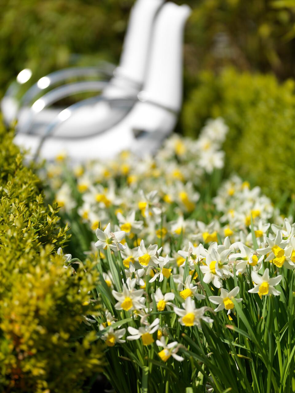 Flores blancas y amarillas de narcisos miniatura o enanos
