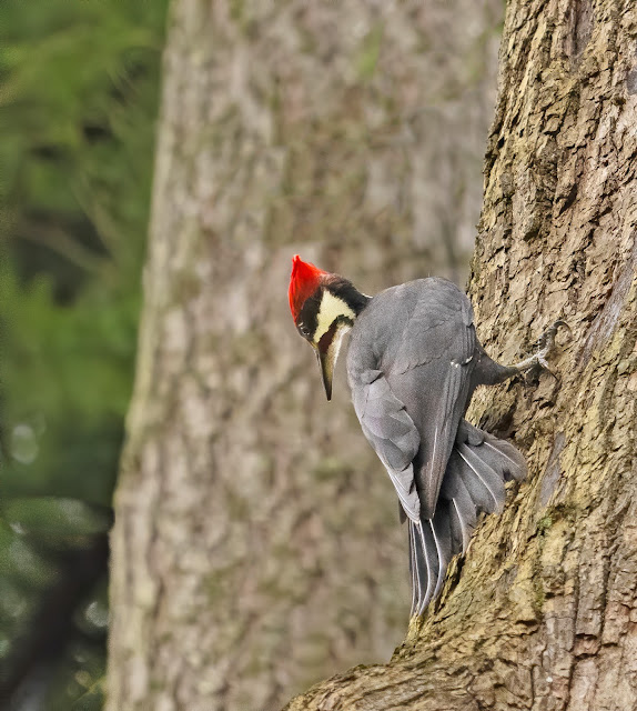 A grey bodied woodpecker with a bright red crest on her head is clinging to the bark of a big evergreen. Her head is twisted sideways and she is looking straight down. Her tailfeathers are pushed firmly against the bark of the tree. Her head is cream colored with a jet black cap under her crest, extending down the back of her head. A racing stripe from her black pointed beak that extends to the back of her head