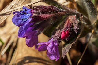 [Boraginaceae] Pulmonaria sp. prob P. officinalis  – Lungwort