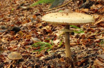Jamur Parasol, jenis jenis jamur