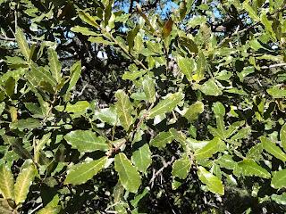Quercus deserticola, Encino blanco