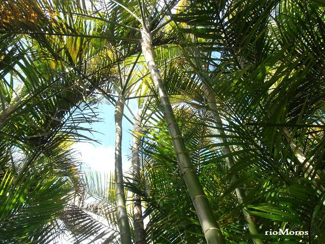 Plantas y troncos de la PALMERA BAMBÚ Dypsis lutescens