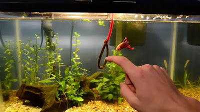 Training a betta fish to swim through a hoop