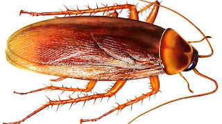How To Start Cockroach Business In Nigeria