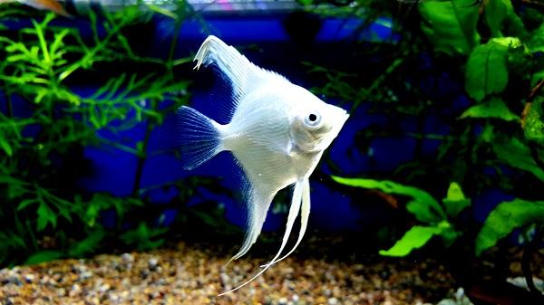 Setup New Aquascape in Planted Angelfish Tank