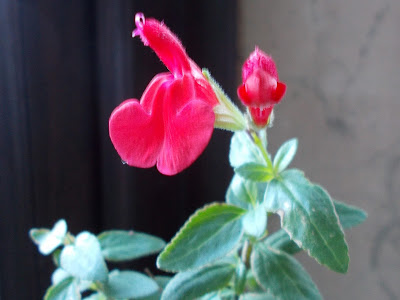 Salvia microphylla - blackcurrant scented leaves Plants indoors for winter Green Fingered Blog