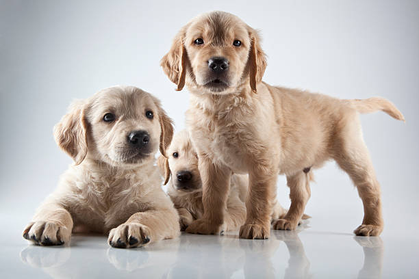 Golden Puppies – How to Buy One