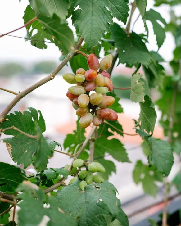 Bibit tanaman anggur baikonur VALID Pagaralam