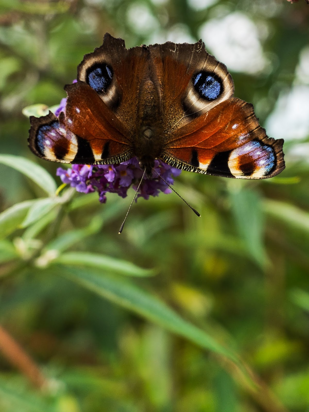 An upside-down Peacock Butterfly on a Buddleia bush sipping nectar.