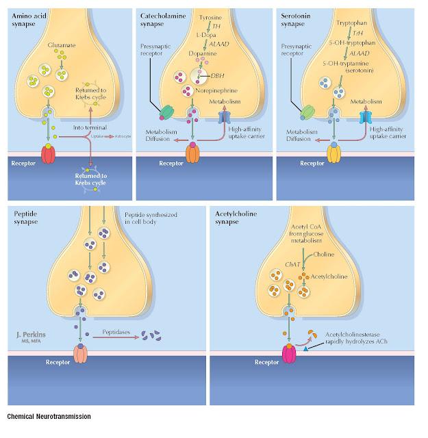 CHEMICAL NEUROTRANSMISSION