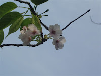 八重一重咲分桜