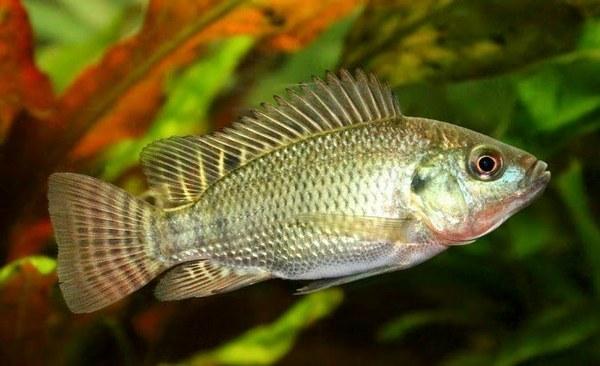 Supplier Jual Ikan Nila Bibit dan Konsumsi di Pangkal Pinang, Kepulauan Bangka Belitung