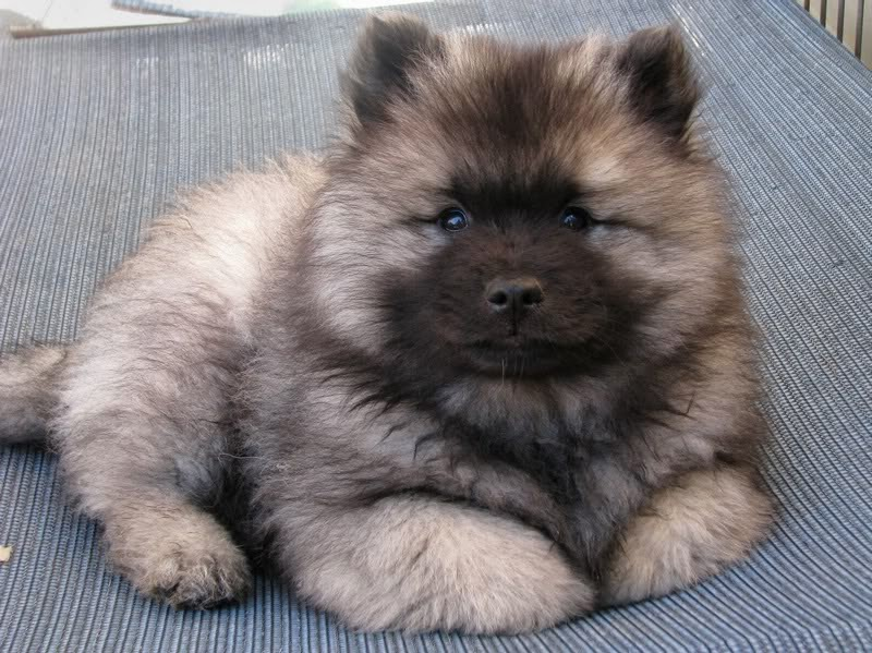 Rules of the Jungle: Keeshond puppies