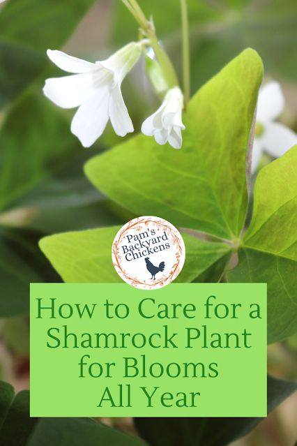 Shamrock plants are worth it for a holiday treat and an easy-to-care-for houseplant that will rebloom again and again