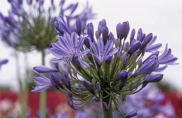 15 plantas con flores en tonos azules guia de jardin for Matas ornamentales
