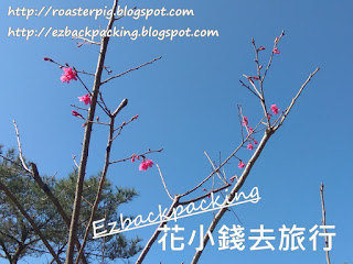山頂花園看櫻花:香港賞櫻地方