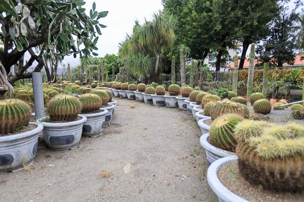 彰化田尾生源仙人掌多肉植物,巨大仙人掌森林就像來到沙漠好特別