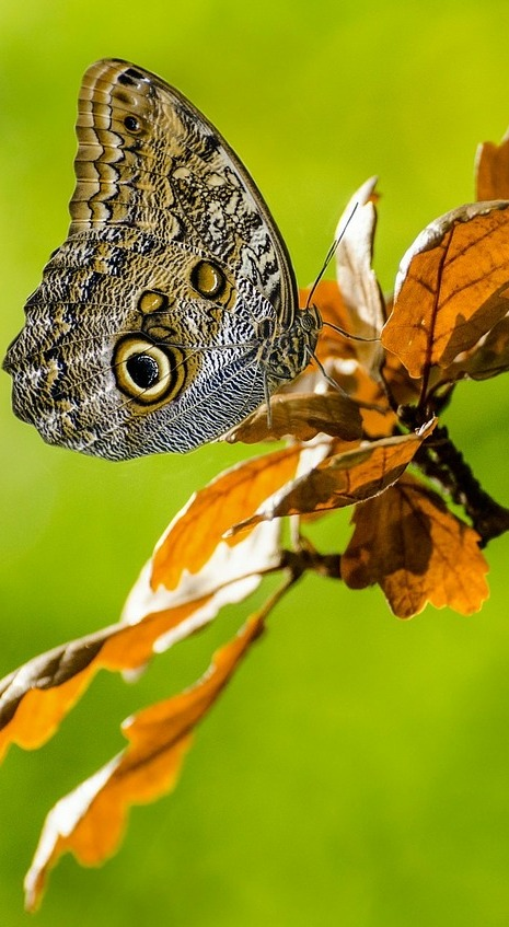 Picture of a beautiful owl butterfly.