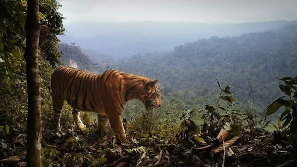 Heboh Harimau Sumatera Turun Gunung Terekam Di Jalan Raya