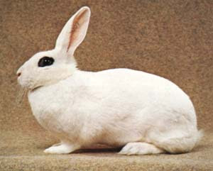 jenis kelinci blanc de hotot