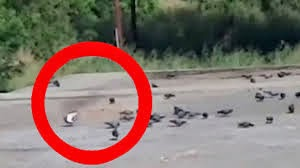Flying Ghost Hunting Pigeons Caught on Camera