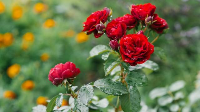Tanaman Penghancur Santet Bunga Mawar