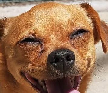 Chiweenie (Chihuahua Dachshund mix) Temperament, Size, Lifespan, Adoption