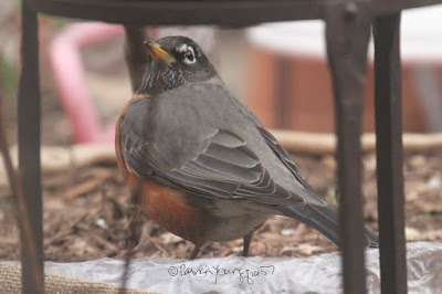 """This picture was taken in a NYC rooftop garden during winter so the containers have been wrapped in burlap for protection from cold temperatures. The focus of the image is a robin who is standing on mulch (something that protects flora in winter) and appears to be looking up to her right at something unbeknownst to me. The bird's yellow beak is closed. She is """"puffed up"""" which what birds do to keep warm. The garden is the setting for my three volume book series, """"Words In Our Beak.""""  Robins are featured in the third volume. Info re these books is within another post within this blog @ https://www.thelastleafgardener.com/2018/10/one-sheet-book-series-info.html"""