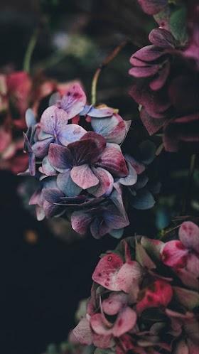Hoa Cẩm Tú Cầu, Hoa Màu Xanh Nhạt