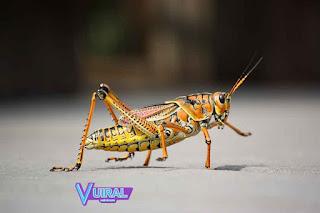 Contoh Hewan Insecta Belalang