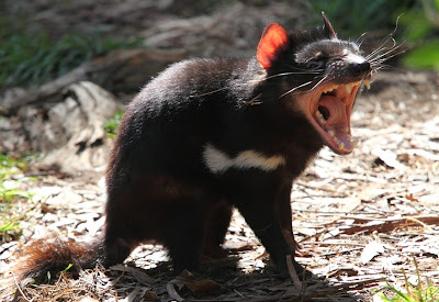 What is Tasmanian Devil? Facts and Quick Info 3
