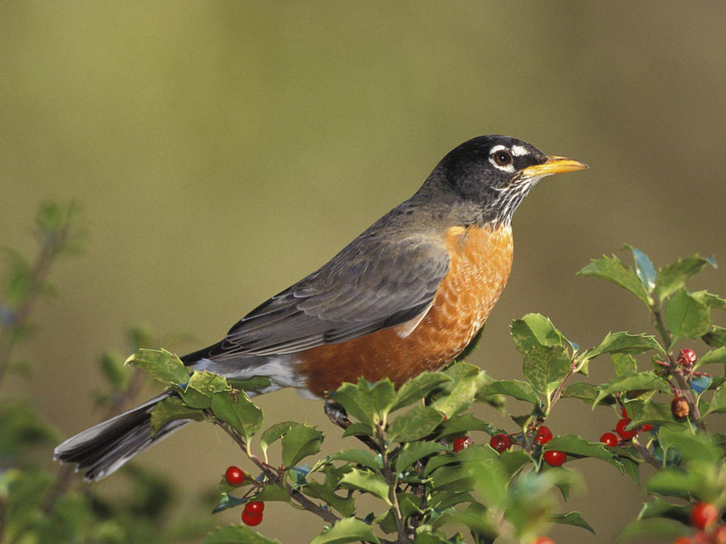 wallpapers: Birds Wallpapers Free
