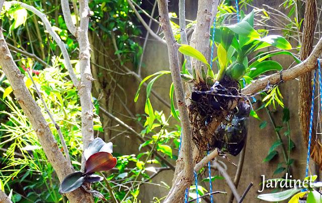 Oncídiuns - Plantio de orquídeas em árvores