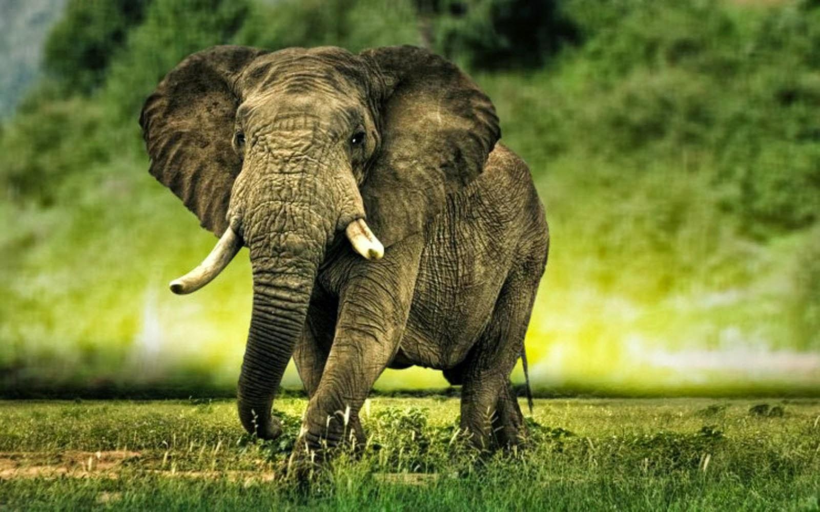 Elephant Hd Wallpapers Animals World