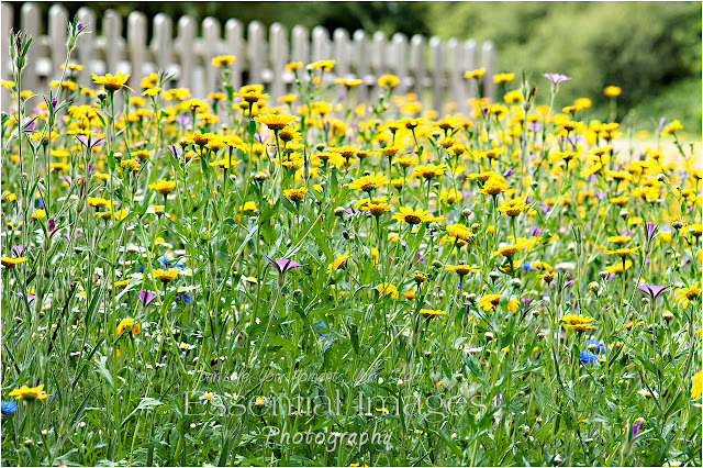 A wild meadow of yellow flowers in Barton