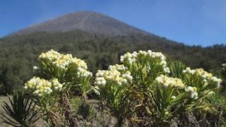 bunga-edelweis-mojokerto