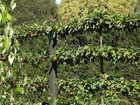 Golden hornet crabapple - Christchurch Botanic Gardens, New Zealand