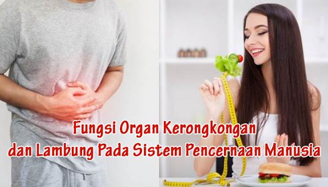 Fungsi Organ Kerongkongan dan Lambung Pada Sistem Pencernaan Manusia
