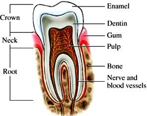 Dibujo del diente indicando sus partes en inglés