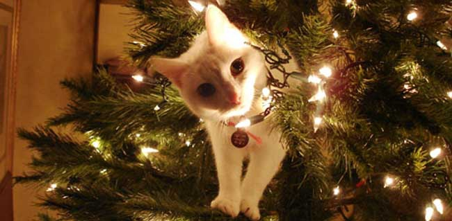 christmas trees fir trees have oils in them that can agitate your pets mouth and intestines and pines are considered to be relatively nontoxic but some - Are Christmas Trees Poisonous To Cats