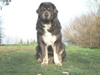 Bisben Dog