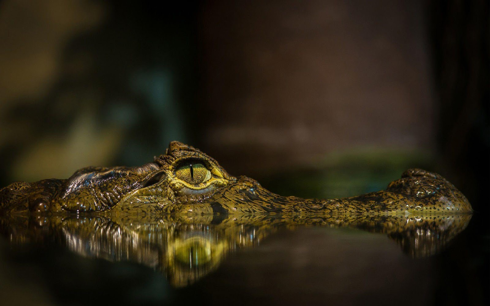 Alligator HD Wallpapers, animal wallpapers