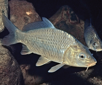 Ikan Mas, Ikan Air Tawar Terpopuler di Indonesia