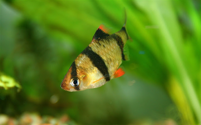 Instructions to Breed Tiger Barbs - RictasBlog