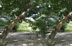 Pohon waru tergolong dalam jenis kayu keras dengan spesies Hibiscus tiliaceus. Pohon waru memiliki berbagai macam nama di beberapa daerah jawa seperti waru doyong, waru laut, waru merah. Biasanya pohon waru digunakan sebagai bonsai. Pohon Waru merupakan tumbuhan asli yang hidup di daerah tropika pada bagian barat pasifik. Waru berbatang sedang dan dapat hidup pada kondisi tanah yang berbeda-beda. Pada kondisi tanah yang subur, batangnya lurus, akan tetapi cenderung tumbuh membengkok serta percabangan dan daunnya lebih lebar ketika tanahnya kurang subur.